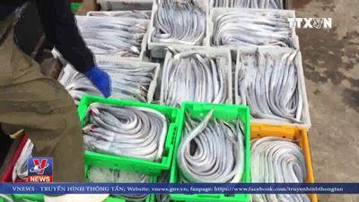 Nhiều tàu cá Nghệ An trúng đậm cá hố xuất khẩu