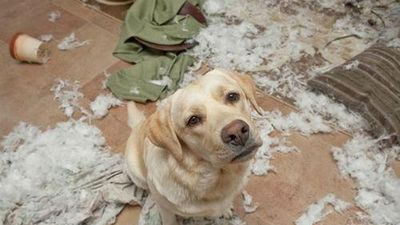 Vắng chủ, cún cưng phá tan hoang cửa nhà