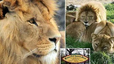 Vua sư tử chết thảm khi vợ đảo chính tấn công