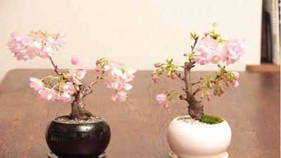 Mê tít loạt bonsai hoa Nhật Bản siêu đẹp
