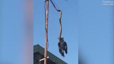 Rợn người cảnh trăn dài 3 mét siết chết chim giữa không trung