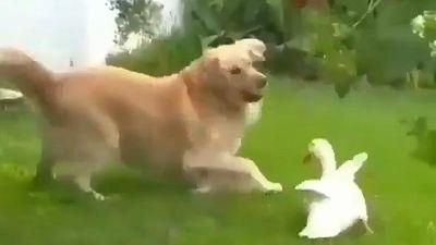 Bất ngờ về tình bạn thân thiết giữa chó vàng và vịt trắng