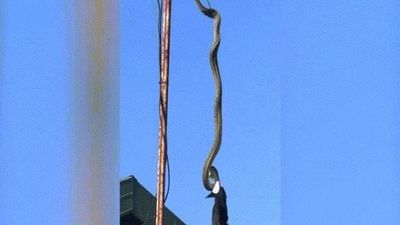 Video trăn treo cổ 'tử hình' chim khổng lồ trên ăng ten