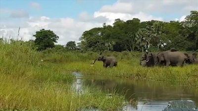 Thế giới động vật: Màn kịch chiến giữa cá sấu và đàn voi
