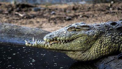 Hãi hùng chiến tích kinh hoàng của cá sấu cụt mõm
