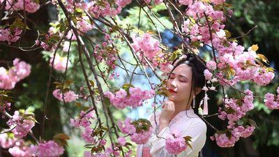 Đến Hàn Quốc, ngắm anh đào bung sắc đẹp mơ màng