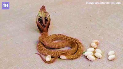 Rùng mình xem rắn hổ mang đẻ hơn chục quả trứng giữa đường
