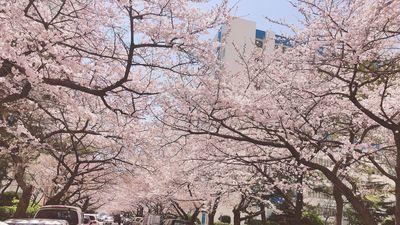 Hoa anh đào bắt đầu nở trắng đường phố Hàn Quốc
