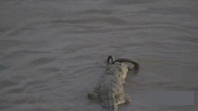 Thế giới động vật: Trăn vùng vẫy trong hàm răng cá sấu