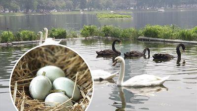 Cận cảnh đàn Thiên Nga đẻ trứng ở Hồ Thiền Quang