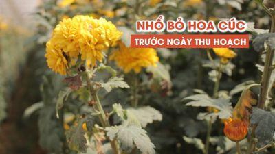 Dân Đà Lạt cắn răng nhổ bỏ hàng trăm hecta hoa cúc trước ngày thu hoạch