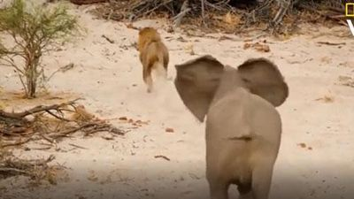 CLIP: Đàn sư tử tấn công mẹ con chú voi mới chào đời