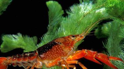 Tôm hùm đất-kẻ xâm lăng hệ sinh thái châu Âu