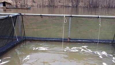Cá chết hàng loạt trên lòng hồ Thủy điện Hủa Na chưa rõ nguyên nhân