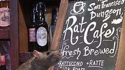 Độc đáo cà phê chuột ở San Francisco