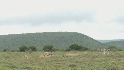 Bị ngựa vằn phản công bất ngờ, 2 con báo săn bỏ chạy trối chết