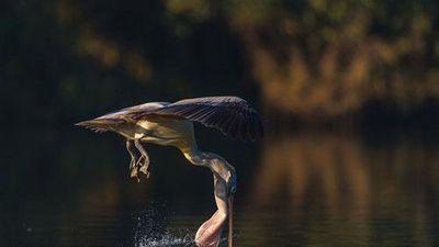 Bồ nông phi thần tốc tránh cá sấu, suýt lộn cổ... chết cười