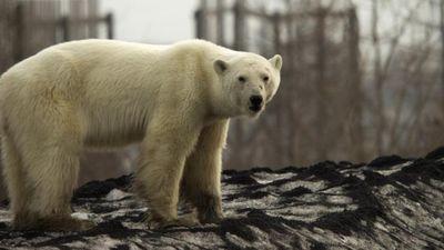 Gấu Bắc cực ốm yếu đi lại trong thành phố Nga
