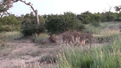 CLIP: Đàn sư tử cái 'song kiếm hợp bích' dạy dỗ sư tử đực