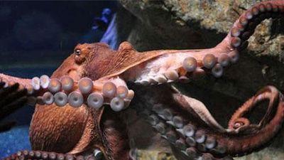 CLIP: 'Sốc' bạch tuộc khổng lồ tấn công thợ lặn và đeo bám dai dẳng