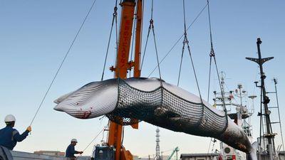 30 năm cấm săn bắt, người Nhật mất hứng với món cá voi truyền thống