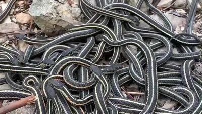 Động rắn lớn nhất thế giới ở Canada