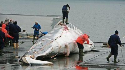 Bất chấp chỉ trích, Nhật Bản sắp trở lại đánh bắt cá voi thương mại