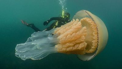 Đụng độ với sứa khổng lồ ngoài khơi bờ biển Anh