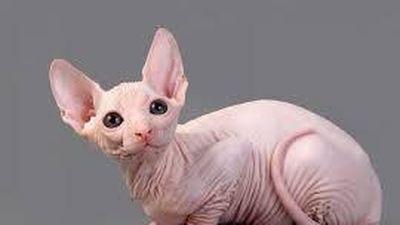 Giống mèo trụi lông sở hữu mức giá cao nhất thế giới có gì đặc biệt?