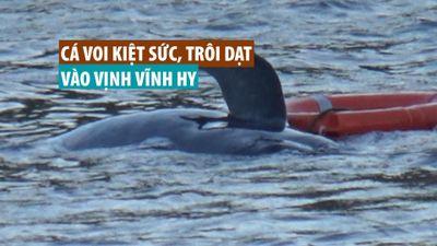 Cận cảnh nỗ lực cứu cá voi kiệt sức, trôi dạt vào vịnh Vĩnh Hy