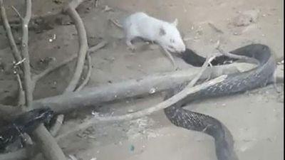 Chuột bạch tung đòn khiến rắn hổ mang chết thảm