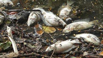 Cá chết nổi trắng bốc mùi hôi thối, người dân bịt mũi đi qua hồ Trúc Bạch