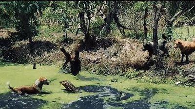 Thằn lằn khổng lồ đối đầu với đàn chó nhà