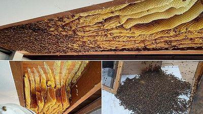 Giật mình khi phát hiện tổ ong mật khổng lồ có hơn 60,000 con trên trần nhà