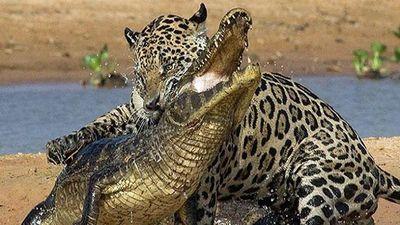 Báo đốm vồ mạnh, cá sấu không kịp trở tay