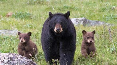 Gấu con đuối nước, hoảng loạn gọi mẹ
