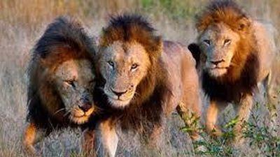 Mải mê săn mồi đàn sư tử ngã xuống giếng và cái kết bất ngờ