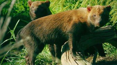 Chó lông rậm dìm chết con mồi để ăn thịt