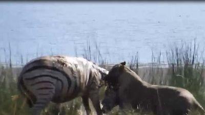 CLIP: Sư tử tấn công bất ngờ khiến ngựa vằn không kịp trở tay