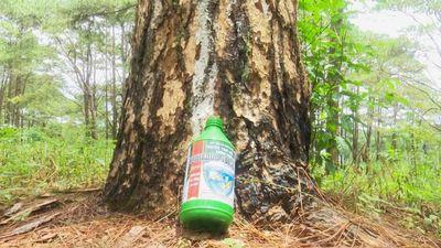 Mục kích hơn 600 gốc thông bị đầu độc tinh vi ở Đắk Nông