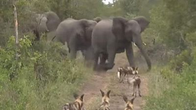Voi mẹ bảo vệ con khỏi bầy chó hoang liên tục bám đuổi