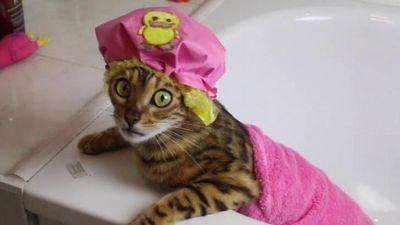 Cuộc sống vương giả của loài mèo đắt nhất thế giới