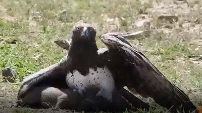 CLIP: Đại bàng Martial đoạt mạng lợn lòi