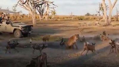 CLIP: Sư tử đại chiến 16 con chó hoang bảo vệ con