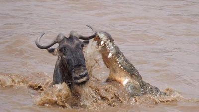 Linh dương đầu bò thoát khỏi sự tấn công của cá sấu