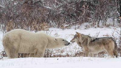 Cuộc chạm trán giữa bầy sói và gấu trắng Bắc Cực
