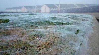 'Động bàn tơ' khổng lồ rộng hàng trăm mét vuông bao phủ cả cánh đồng