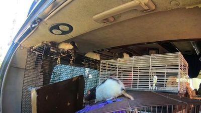 Phụ nữ sống với hơn 300 con chuột trên một chiếc xe tải