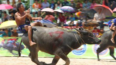 Lễ hội đua trâu truyền thống ở Thái Lan