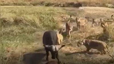 CLIP: Trâu rừng kéo nhau tấn công sư tử, giải cứu con non